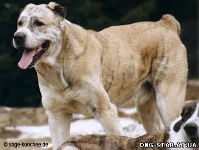 щенки азиатской овчарки: бергамская овчарка.